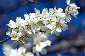 Blühende Mandel-