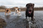 Labrador Retriever And Friends