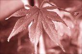 Sepia Maple
