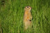 foto of gopher  - A wary gopher looking to the right