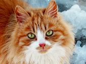 Close-up Red Cat With Green Eyes Looking On Camera. Cute Aborable Red Cat Asks Food. Portrait Of Red poster