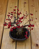 Bonsai Holly Berries Tree. Red Berries Of Holly Bonsai Tree. Picture Of Beautiful Autumn Bonsai Holl poster