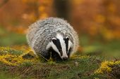 Portrait Of European Badger, Meles Meles In His Natural Environment. Cute Black And White Mammal, Au poster