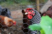 stock photo of chicken-wire  - Barred Rock Hen behind Chicken Wire with out of focus hens in the background and out of focus leaf in foreground - JPG