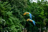 Two Flying Macaws,beautiful Birds.flying Beautiful Birds.beautiful Birds Flying. poster