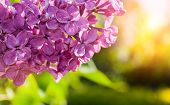 Spring Background With Lilac Flowers. Spring Lilac Flowers Branch Lit By Sunlight, Selective Focus A poster