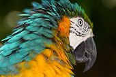 yellow macaw