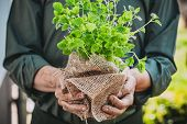 Organic Vegetables. Farmers Hands With Herbs. Fresh Organic  Herbs. poster