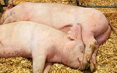 Two dirty sleeping hogs snuggled together in a pile of sawdust