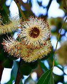 Eucalyptus Flower & Leaves On Tree. Closeup Of Soap Mallee Leaves (eucalyptus Diversifolia) Plant Fl poster