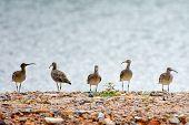 Flock Curlew Bird. A Flock Of Birds With A Long Beak Stands On A Sandy Beach poster
