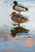 Duck Couple On A Melting Ice Pond In The Park In The Spring At Sunset In April. Drake With A Duck. poster