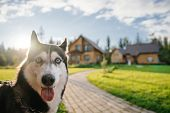Muzzle Of The Dog Husky Breeds Into The Camera With A Surprised Look At The Background Of The Dacha  poster