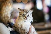 Frightened Fluffy Homeless Cat In Hands Of Girl Volunteer In Shelter For Homeless Animals. Girl Take poster