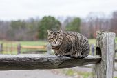 An Observing Cat Sitting On A Split Rail Fence On An Overcast Day Looking At The Camera. poster