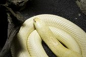 picture of king cobra  - Albino Monocle Cobra - JPG