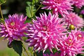 Pink Dahlia Flowers In The Botany Garden poster