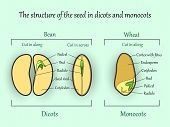 Vector Education Botany Banner, Structure Monocot And Dicot Plant Seeds In A Cut Sections. Agricultu poster