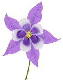 picture of violet flower  - illustration of a beautiful violet columbine  - JPG