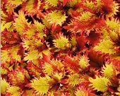 Red And Yellow Coleus