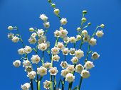 Flowering lily May (Convallaria majalis) against the blue sky