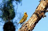 Cape weaver bird