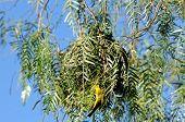 Nest of a Cape weaver bird