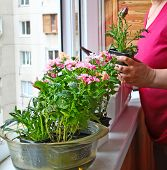 Seasonal Flowering Of Balcony