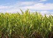 Sugar Cane Plantation Closeup Used In Biofuel Ethanol