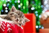 Sleeping Christmas Kitten. Beautiful Little Tabby Sleeping Kitten, Kitty, Cat On Red Knitted Plaid U poster