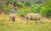 Endangered Rhino Mother And Young Baby Calf In A Nature Reserve In South Africa poster