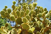 Prickly Pear. Opuntia