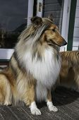 Stunning Young Pedigree Female Black And Sable Rough Coated Collie poster