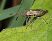 bug (hemiptera) on green leaf. close-up