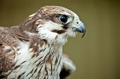 Bird of prey falcon close up