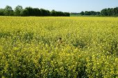 Scenic Rural Landscape With Yellow Rape, Rapeseed Or Canola Field. Rapeseed Field, Blooming Canola F poster