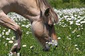 Cavalo do Fjord norueguês