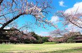 Sakura blossom season in Japan. Blossoming sakura trees in Koishikawa Korakuen garden, Okayama, Japa poster