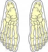 Ossos do pé humano