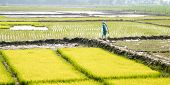 Ripe Rice At The Paddy Field Is Ready To Harvest In A Cultivated Farmland. A Natural Landscape Scene poster