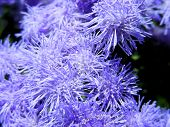Foss Flower