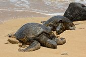 Male & Female Sea Turtles