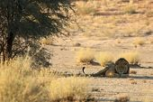 The Hude Lions Male (panthera Leo) Lying In The Shade Of Kalahari Desert. One Green Tree On Dry Dese poster