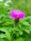 De paarse Korenbloem.