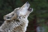 Howler, A  Wolf Singing A Song