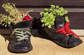 Old Leather Shoes As Flowerpots.plants Growing In Tattered Shoe poster