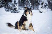 playful border collie husky sits in snow