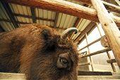 Cabeza de bisonte