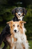 Two Cute Dog Border Collie Hug