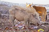 Boar and a cow rummage trash for food